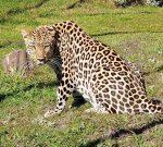 Loving the Leopard