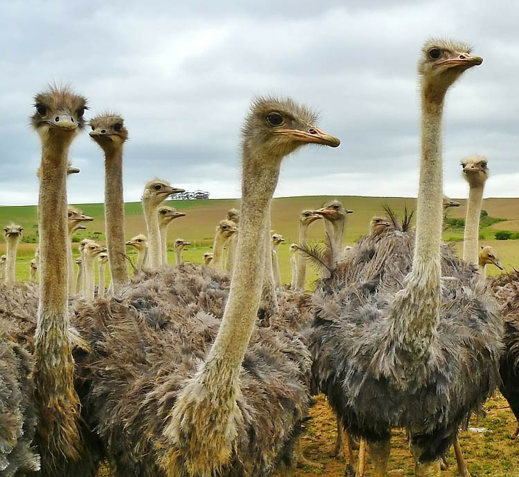 Ostrich farm in the Garden Route