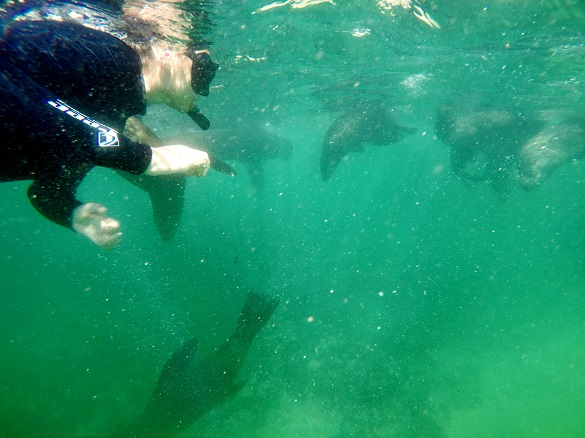 Snorkeling with inquisitive Seals